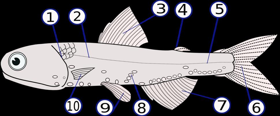 Lampanyctodes hectoris (Hector%27s lanternfish)2