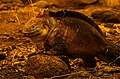 Land Iguana (6519201733).jpg