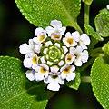 Lantana involucrata (Wild Sage) (6036690604).jpg