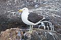 Larus dominicanus - SE Tasmania.jpg