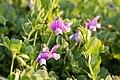 Lathyrus japonicus 04.jpg
