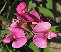 Lathyrus latifolius (perennial pea) (Caldwell, Ohio, USA) 5 (27687477051).jpg