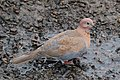 Laughing dove (Streptopelia senegalensis senegalensis) female.jpg