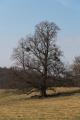 Lauterbach Blitzenrod Pasture Oak Viscum album Mar N.png