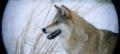 Le dernier loup - Les coulisses - les loups sur le tournage 1.png