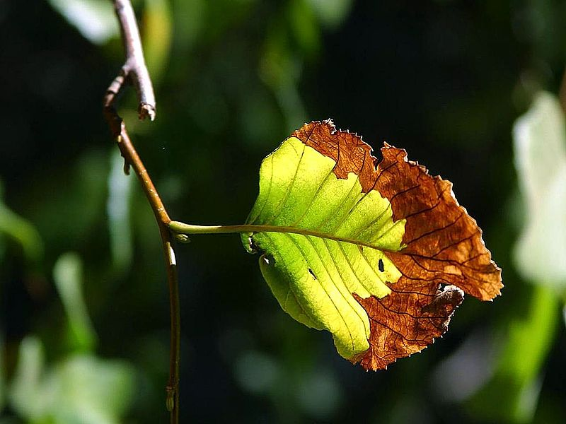 File:Leaf on tree in Yosemite park.jpg