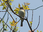 Least Flycatcher, Ottawa.jpg
