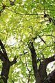 Leaves-Canopy-6859.jpg