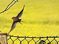 Lecacy ptak.jpg