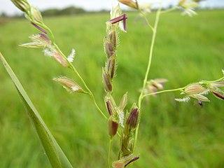 <i>Leersia</i> genus of plants