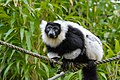 Lemur (25515266967).jpg