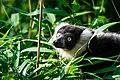 Lemur (36678714332).jpg
