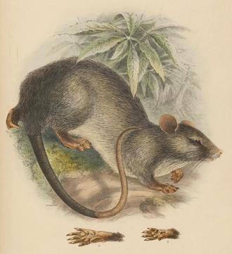 Trefoil-toothed giant rat - Illustration by Adolf Bernhard Meyer