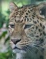 Leopard (Panthera pardus), Thrigby Hall (6088289931).jpg