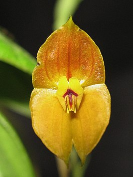 Lepanthes Ophelma.jpg