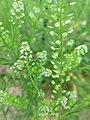 Lepidium campestre - inflorescence, seedhead (19053580795).jpg
