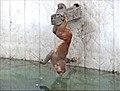 Les singes macaques rhésus, qui vivent autour du Stupa de Swayambhunath à Katmandou 45438643935.jpg