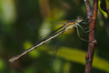 Lestes virens female.png