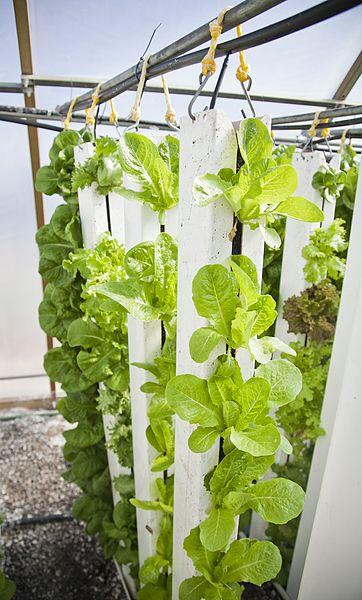 File:Lettuce in Vertical Farm.jpg