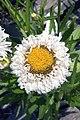 Leucanthemum x superbum Crazy Daisy 0zz.jpg
