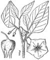 Leucophysalis grandiflora BB-1913.png