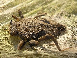Vážka ploská (lat. Libellula depressa) - larva