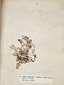 Lichenes Helvetici III IV 1842 015.jpg