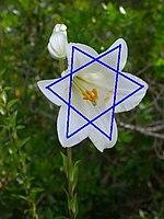 150px-Lily-magen-david01.jpg