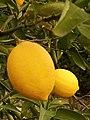 Limon bahçesinde taze limon.jpg