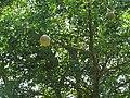 Limonia acidissima-2-surakkapatty-yercaud-salem-India.jpg