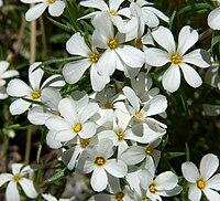 Linanthus nuttallii var pubescens 3