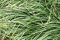 Liriope spicata 0zz.jpg