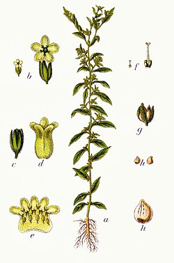 Lithospermum officinale Sturm13.jpg
