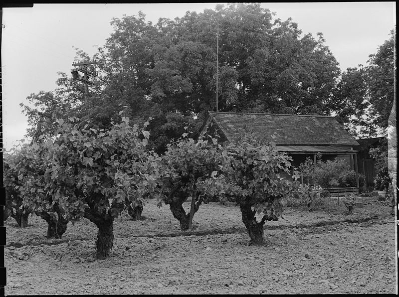 File:Lodi, California. Farm home of laborer of Japanese ancestry. This vineyard is in the highly produc . . - NARA - 537621.jpg