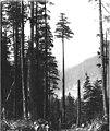 Logger topping off spar tree, Snohomish County, ca 1925 (PICKETT 369).jpg