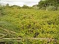 Lonicera japonica Thunb. (AM AK295108-1).jpg