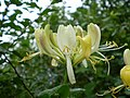 Lonicera periclimenum 0.06 R.jpg