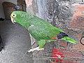 Loro de colores colombiano - 5.jpg