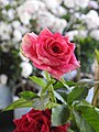 Love and Roses กุหลาบกับความรัก (18).jpg