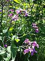 Lunaria annua sl4.jpg