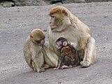 Macaca-sylvanus-barbary-ape-family-0a.jpg