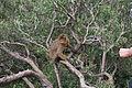Macaque berbère Bejaia 2.JPG