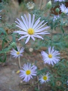 <i>Machaeranthera</i> genus of plants