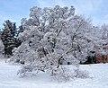 Magnolia x soulangeana tree.jpg