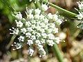 Magydaris panacifolia Flores 2011-6-23 SierraMadrona.jpg