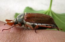 Cockchafer - Wikipedia
