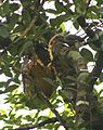 Malabar Grey Hornbill (Ocyceros griseus ) feeding on Jackfruit 3 (1). Goa..jpg