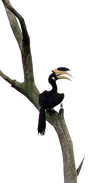 Malabar Pied Hornbill(full).jpg