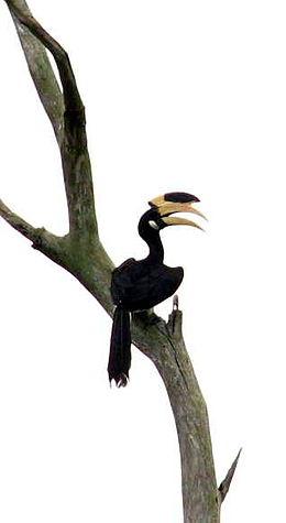 Malabar Pied Hornbill(full)