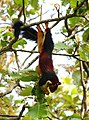 Malabar giant squirrel by Joseph Lazer.jpg